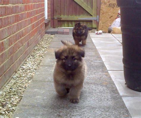 coat german shepherd puppies for sale best quality doable coated german shepherd puppies for sale breeds picture