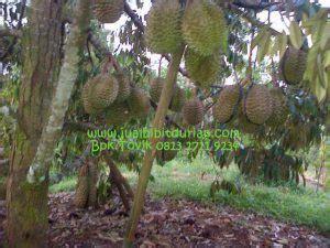 Jual Bibit Mangga Kiojay Di Surabaya bibit durian montong bibit durian unggul durian bawor