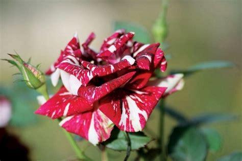 Wallpaper Bunga Mawar Coklat corak bunga hitam putih studio design gallery best