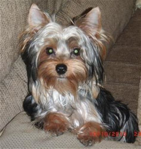 bathing yorkies bathing and grooming needs are determined by yorkie s environment