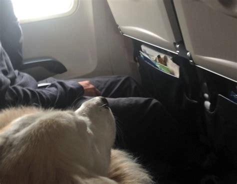 cani in aereo in cabina 10 cani prendono il volo foto tutto ze