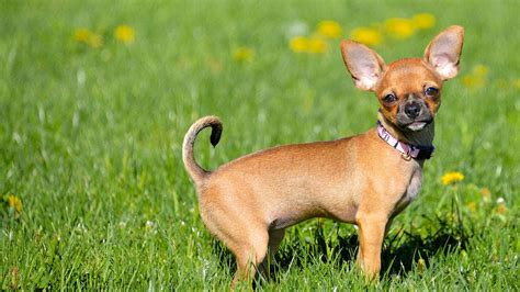 most popular dogs in america the most popular breeds in america abc7ny