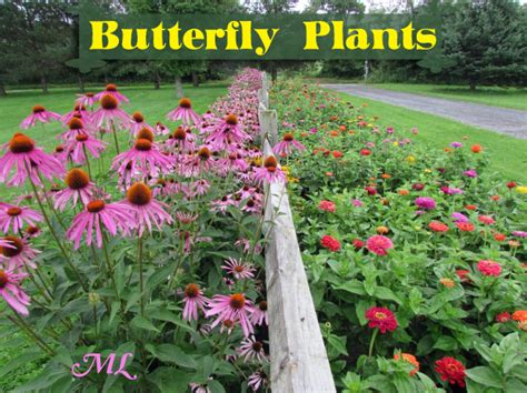 List Of Garden Flowers Butterfly Garden Plants Butterfly Plants List Butterfly Flowers And Host Plant Ideas Gardening