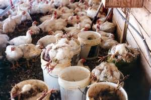 Having Chickens In Your Backyard 10 Ways To Reduce Or Prevent High Mortality Rate In