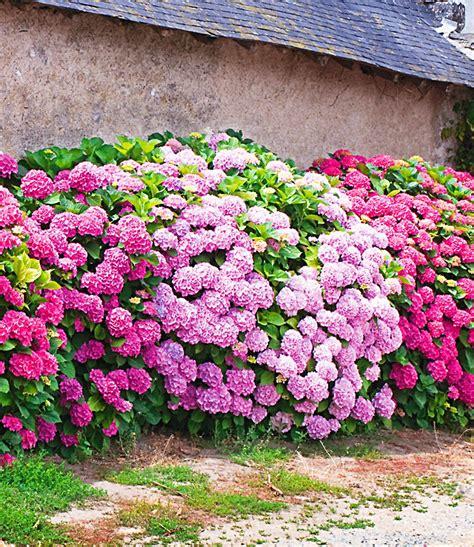 www baldur garten de freiland hortensien hecke pink ros 233 1a qualit 228 t baldur