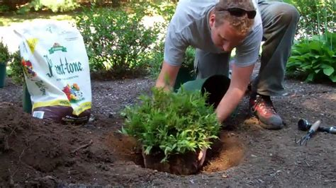 how to plant a shrub youtube