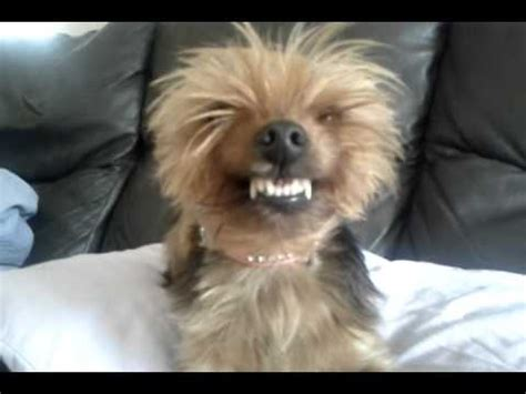 can dogs smile smiling dogs can smile terrier s
