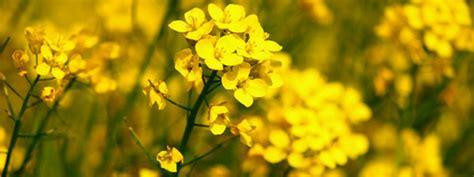 grow mustard plant greenmylife   garden