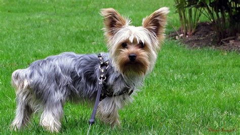 free yorkie puppy terrier collection for free