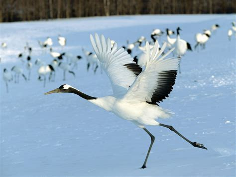 white crane bird wallpaper 31546