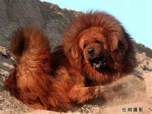 cute dogs pets biggest tibetan mastiff in the world