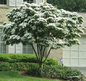 Common Backyard Trees 8 Best Images About Dogwood Trees On Pinterest Trees