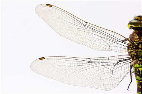 the wings of an insect are attached to this section free photo dragonfly insect animal wing free image