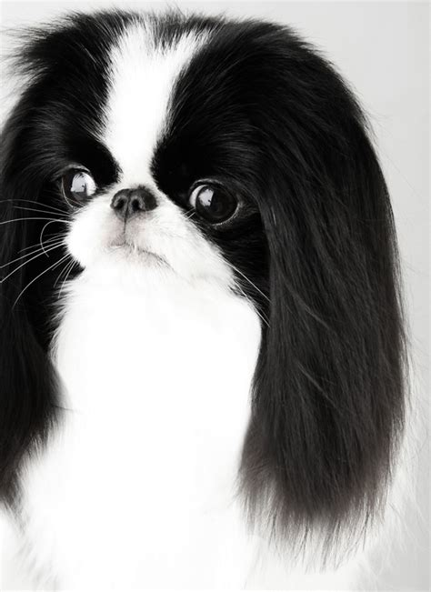 japanese chin fabel mi japanese chin without compromiseam can ch midwood magnitude