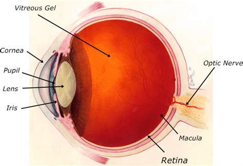 shark eye diagram retina diagram labeled www pixshark images