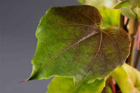 Kletterpflanzen Selbstklimmer by Selbstklimmer Wein Veitchii Parthenocissus Tricuspidata