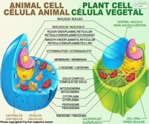 fotos de celulas animais puzzles de c 233 lula animal y vegetal rompecabezas para imprimir
