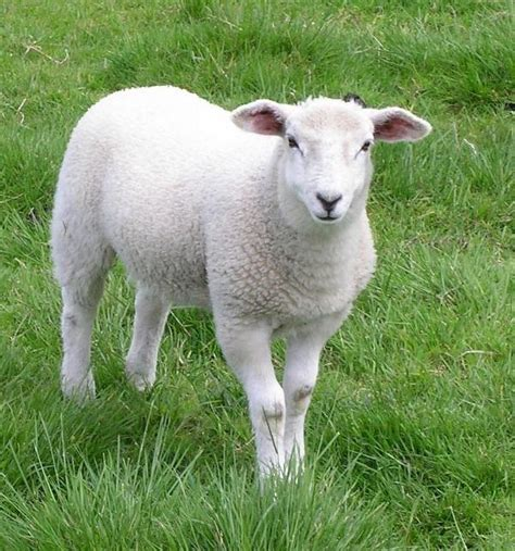 how to a sheep and domestic animals arcmel