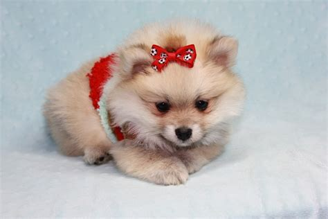 teacup pomeranian teddy teacup pomeranian puppy in los angeles ca breeds picture