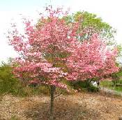 He selection of hardy ornamental trees for midwest and northern