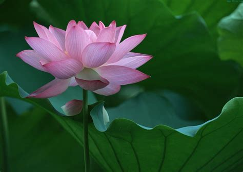 lotus flower lotus flower wallpapers wallpaper cave
