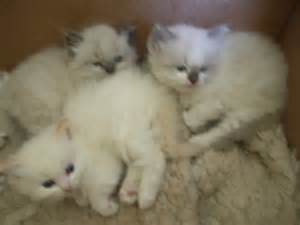Ragdoll Cats For Sale In Sc » Home Design 2017