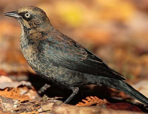 rusty blackbird life expectancy