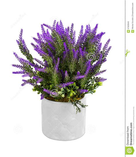 lavanda in vaso lavanda in vaso immagine stock immagine di herbal