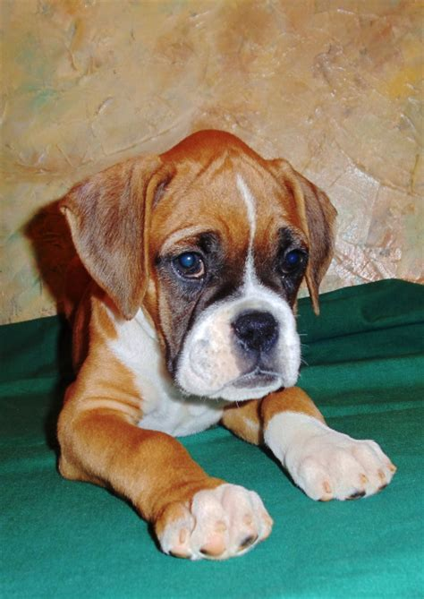 boxer colors fawn boxer puppy www pixshark images galleries
