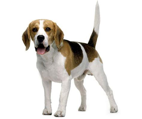 alimentazione beagle beagle carttere aspetto taglia alimentazione salute