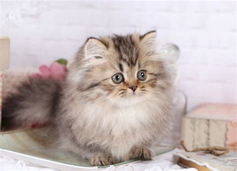 Img 5128 Ultra Rare Persian Kittens For Sale 660 292 Rug Hugger Kittens For Sale