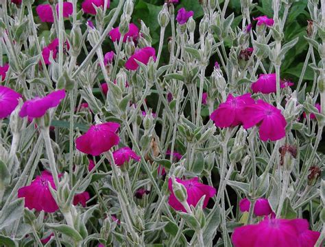 rose campion   southern exposure seed exchange