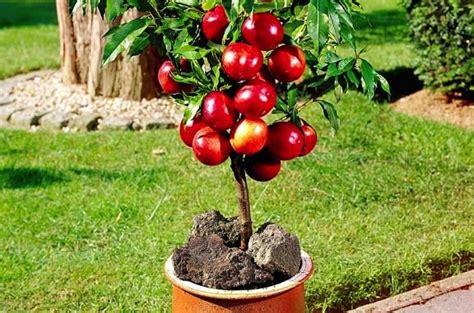piante da frutta in vaso coltivare frutta in casa possibilissimo idee green
