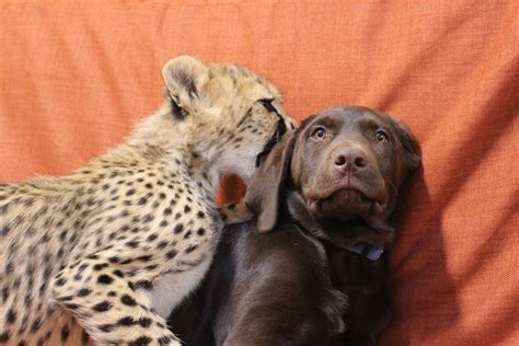 cheetah and slumber at the zoo with a cheetah cub a puppy and a