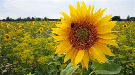panduan lengkap teknik budidaya bunga matahari bibit