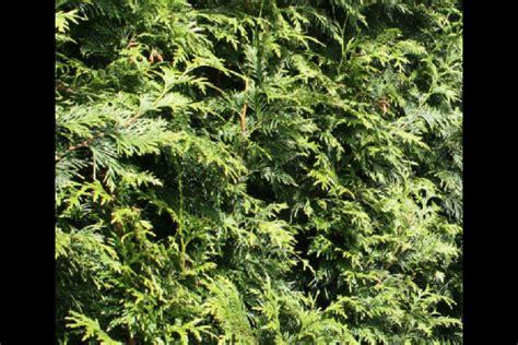 anbau auf säulen lebensbaum thuja lebensbaum thuja smaragd kaufen garten