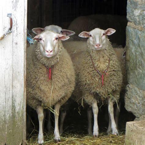 sheep breeds  homesteaders homesteading