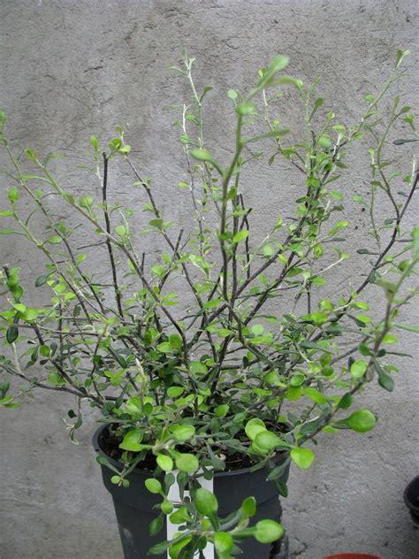 corokia virgata maori green florists plantica