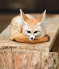 pictures fennec fox