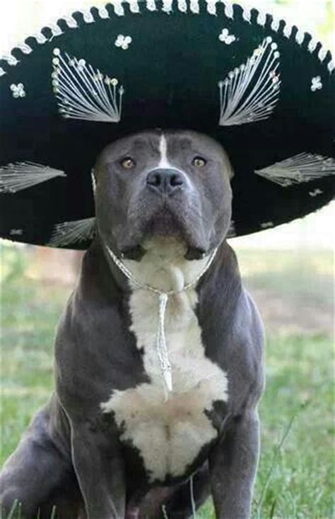Mexican Pit 78 Best Images About Blue Nose Pit Bull On
