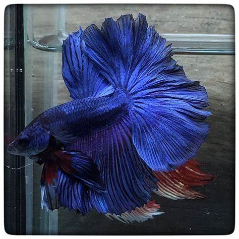 images about Fish!! on Pinterest   Betta, Betta Fish and  Fish