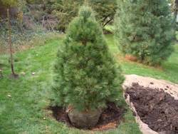 how to plant a live christmas tree with a soil root ball