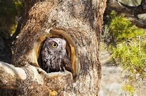 owl homes western screech owl earth rangers wire