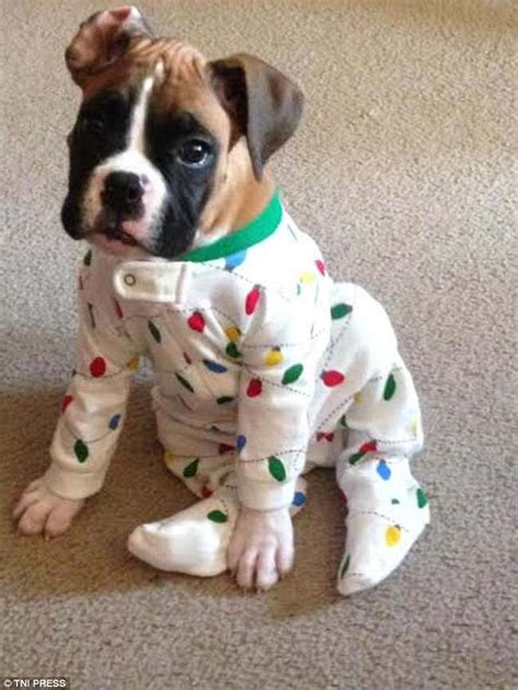 puppies in pajamas photos capture puppies dressed in pyjamas daily mail