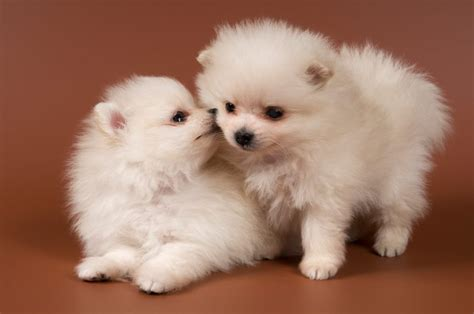 how much are pomeranian puppies 8 pomeranian facts that will your mind
