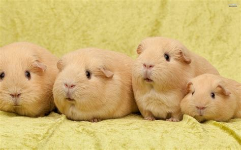 Guinea Pig Wallpapers