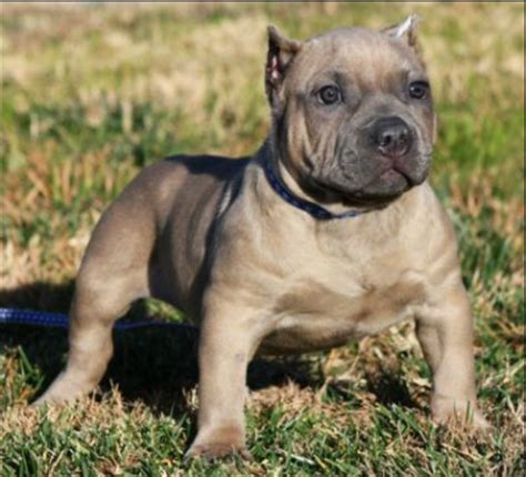 chocolate tri color pitbull puppies for sale chocolate tri color pitbull puppies for sale 28 images chocolate tri color