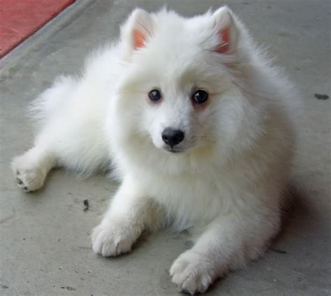 japanese spitz japanese spitz puppies rescue pictures information temperament characteristics