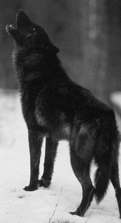 Épinglé par Mily ♡☆♡☆ sur *Wolves♡* | Loup sauvage, Loup