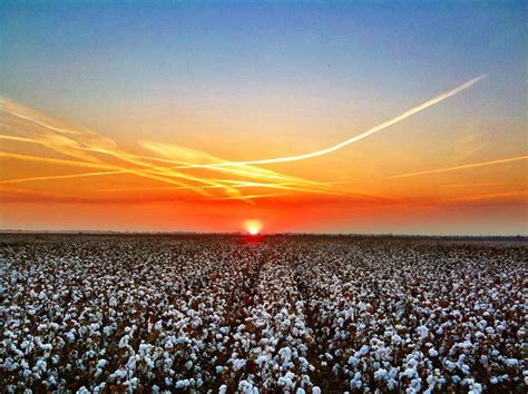 ms sunset mississippi delta cotton at sunset bourbon mississippi